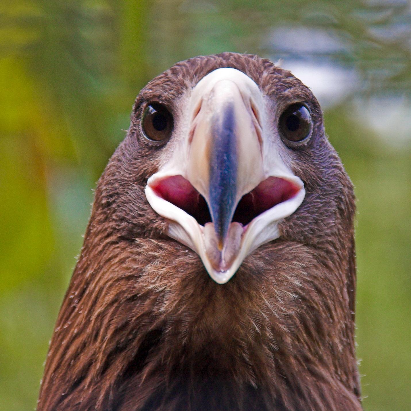 Drawn steller's sea eagle sea eagle Rebuu Botanical Sea Eagle Garden