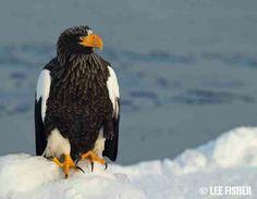 Drawn steller's sea eagle sea eagle Steller's eagle Steller's sea and