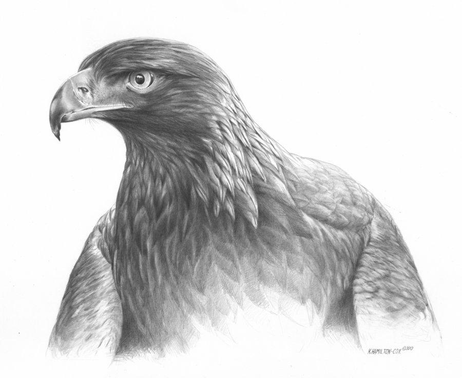 Drawn reptile golden eagle Best Google eagle golden Pinterest