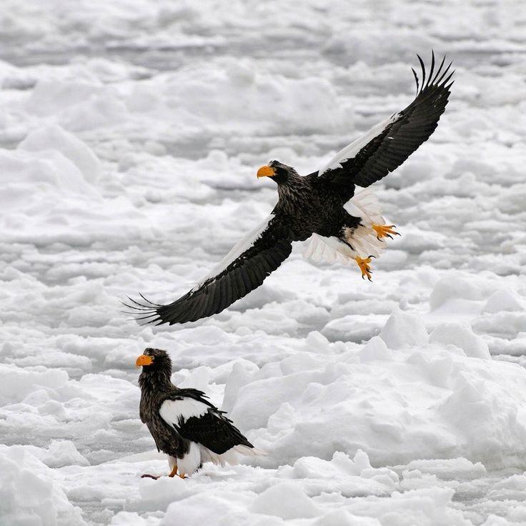 Drawn steller's sea eagle detailed Ideas ice floating Steller's on