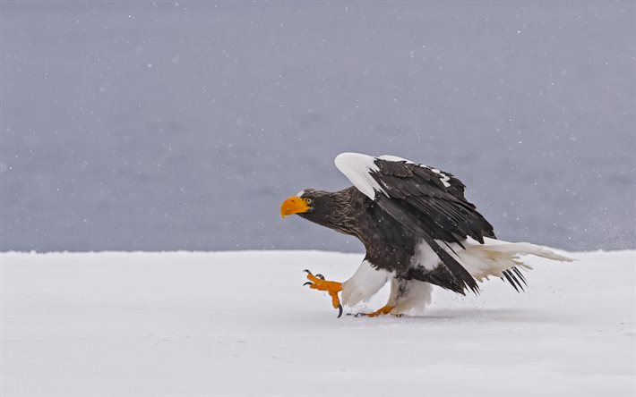 Drawn steller's sea eagle eagle eye Winter Stellers sea  predator