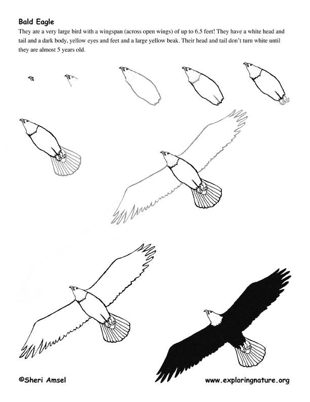 Drawn steller's sea eagle step by step Pinterest Best images on images