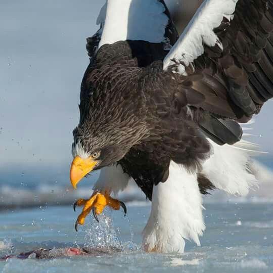 Drawn steller's sea eagle usa flag Images best Eagles  Pinterest