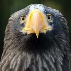 Drawn steller's sea eagle usa flag Steller's eagle Szukaj pelagicus) Pinterest