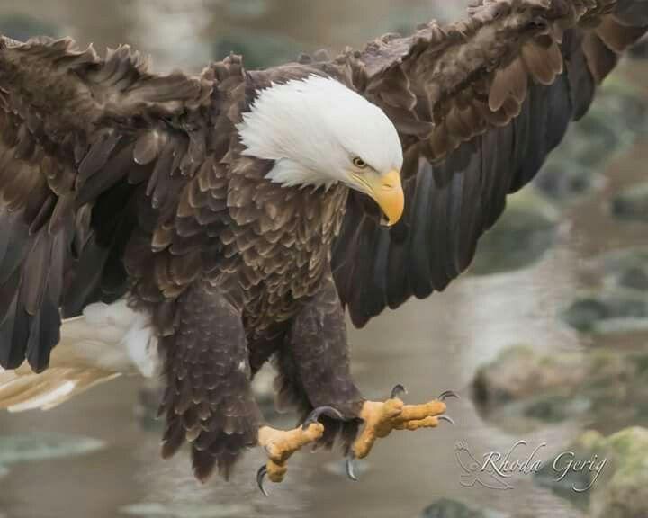 Drawn steller's sea eagle usa flag Best Bald eagle 25+ Eagle