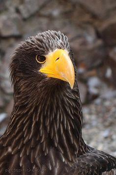 Drawn steller's sea eagle detailed Sea ( Google photography w