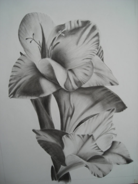 Drawn still life lily Charcoal drawing /Sword lily flower