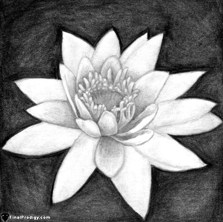 Drawn still life lily Petals a using shade in