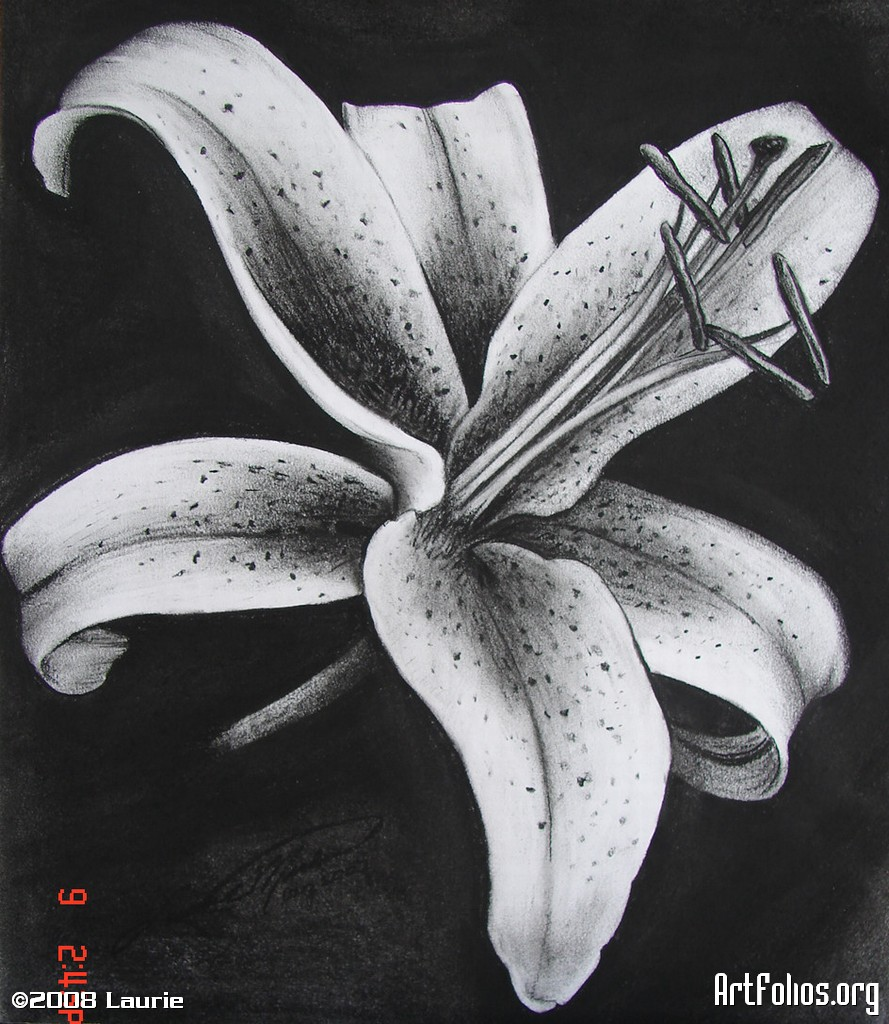 Drawn still life lily Lily Pencil Drawings Of drawing