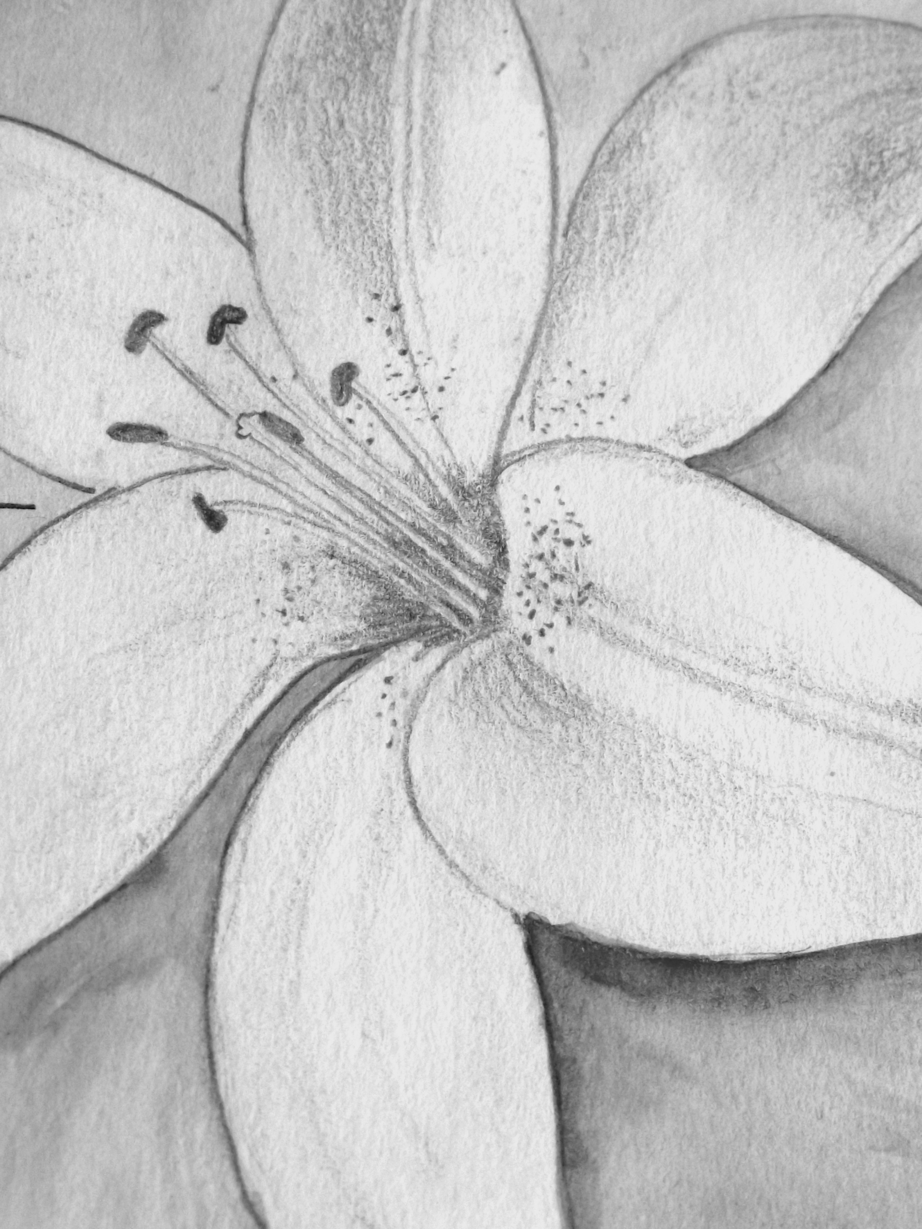 Drawn still life lily Pencil of Lily Pencil of