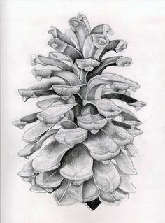 Drawn still life nature Drawing Pine barrett drawing Pinecone