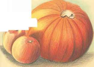 Drawn still life pumpkin Arts The Pencil Colored Drawing