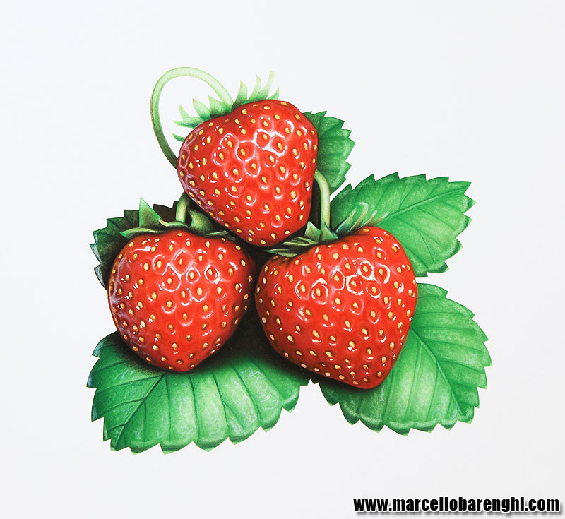 Drawn strawberry realistic Marcello pencils colored Illustration Barenghi