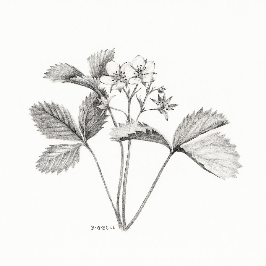 Drawn strawberry strawberry flower Drawing  Wild strawberry Gray