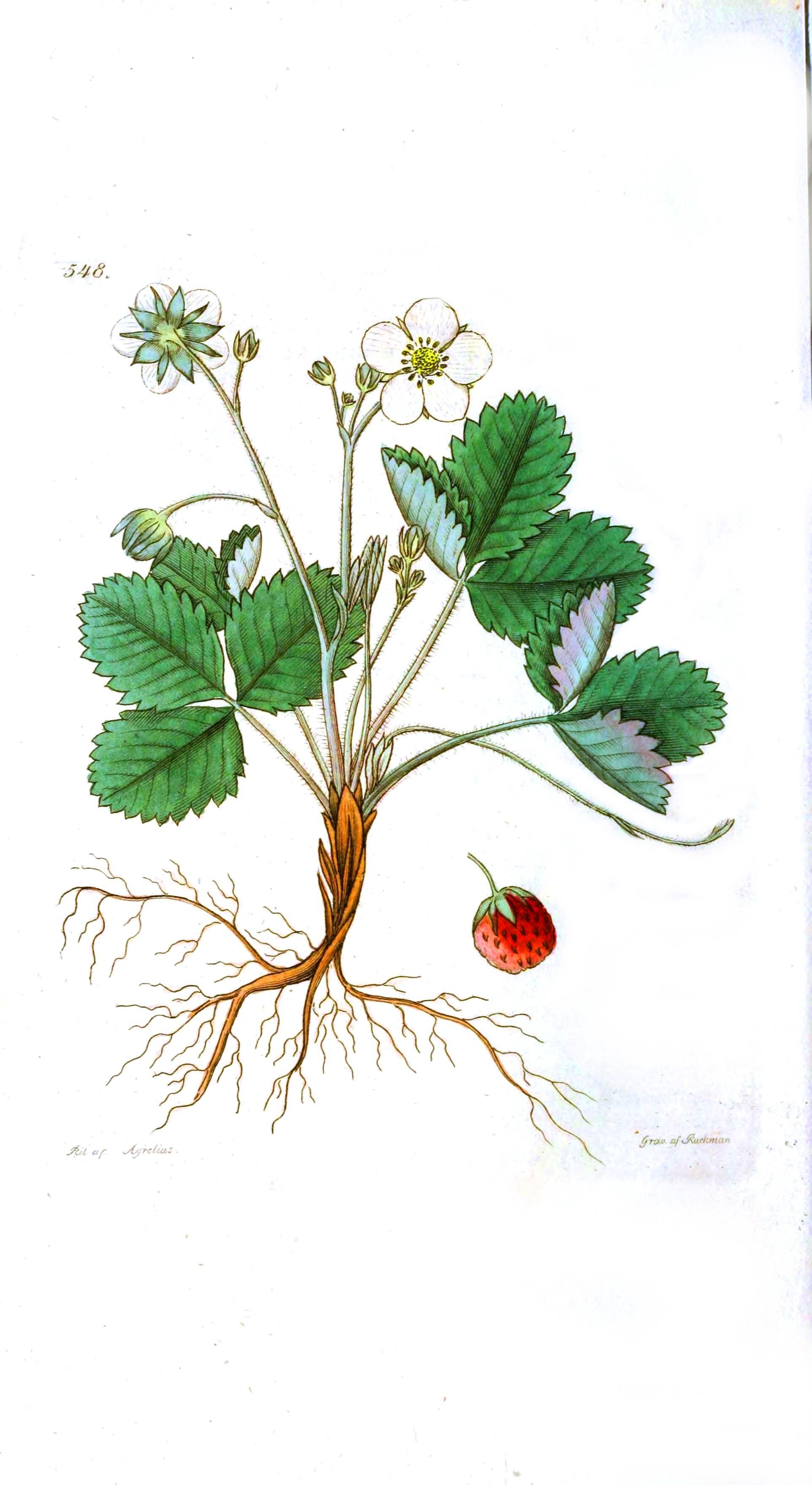 Drawn strawberry strawberry flower Flower  Botanical – Wild