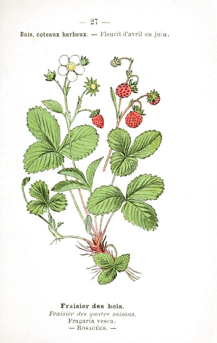 Drawn strawberry strawberry flower Alpine botanical drawing Google Search