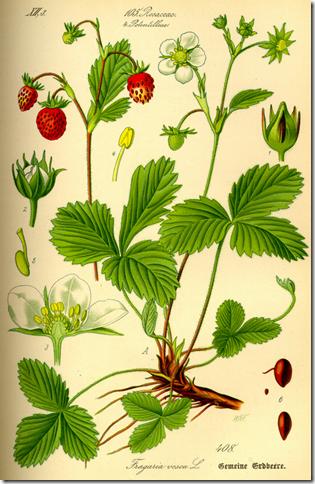 Drawn strawberry strawberry flower Strawberry Wilderness Survival  Arena