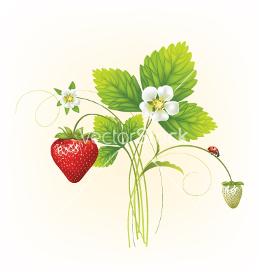 Drawn strawberry strawberry flower Inspiration Search strawberries strawberries graphics