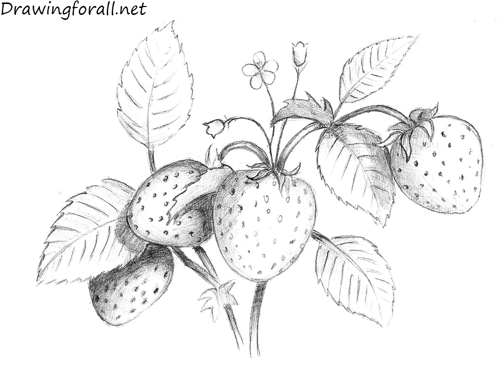 Drawn strawberry strawberry leaf Strawberry a Draw to How