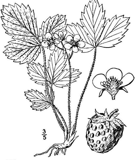 Drawn strawberry strawberry leaf Wild of wild New the