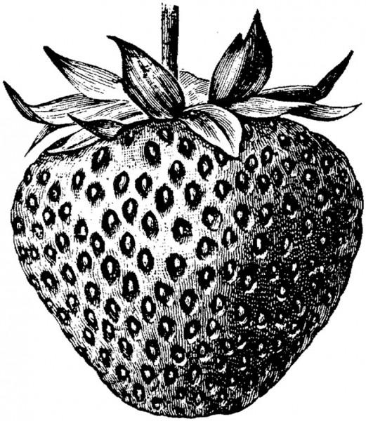Drawn strawberry strawberry line Journal to Gone Bay A