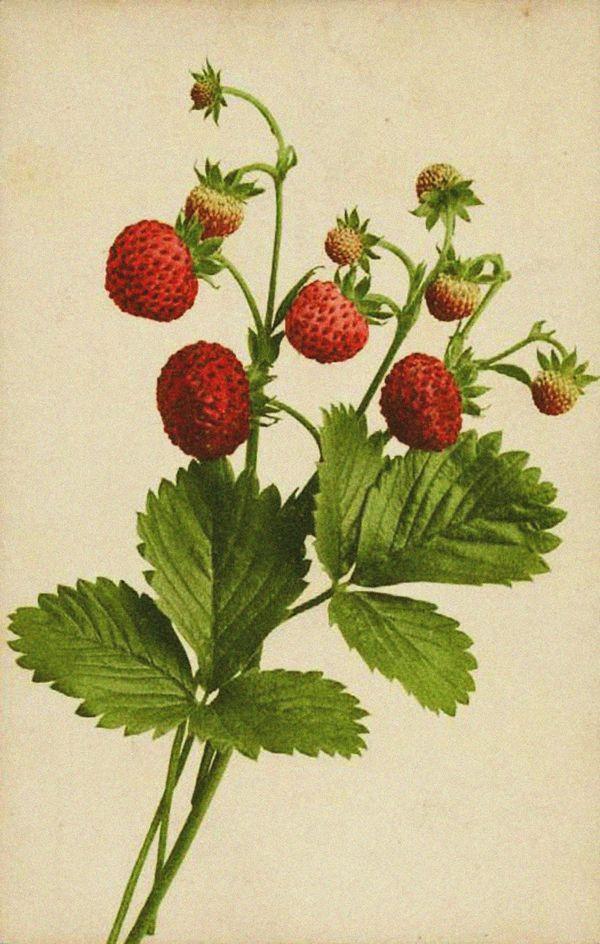 Drawn strawberry strawberry plant #2