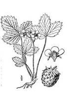 Drawn strawberry strawberry plant #6