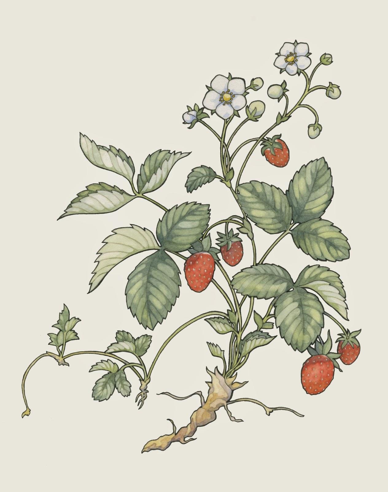 Drawn strawberry strawberry plant #3