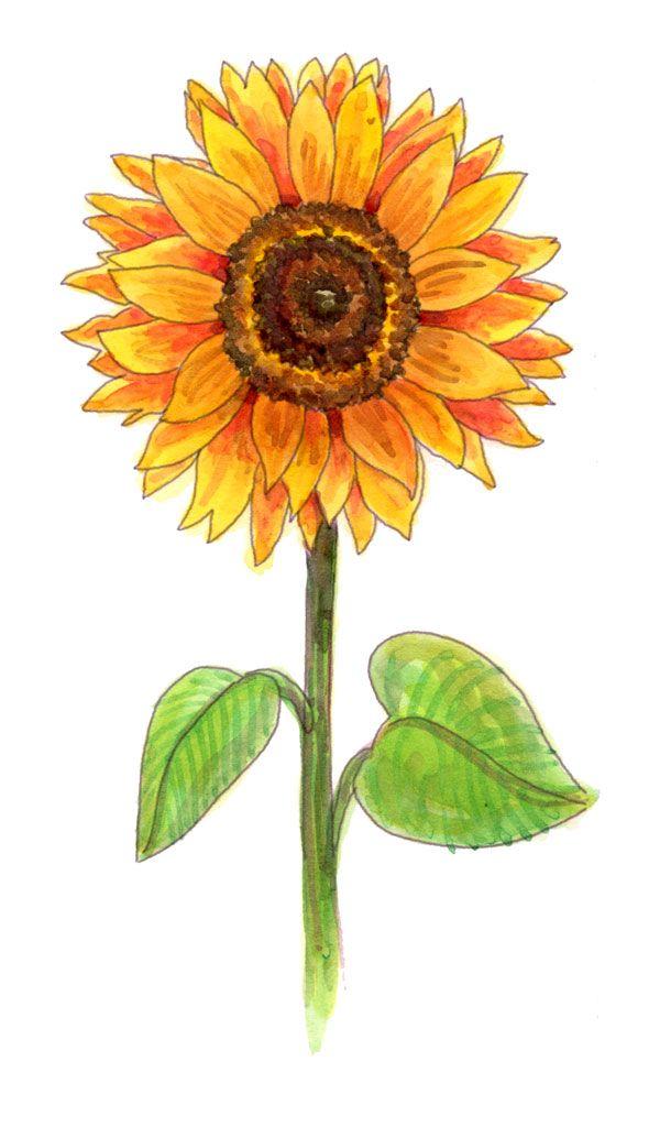 Drawn sunflower On ideas & sunflowers they