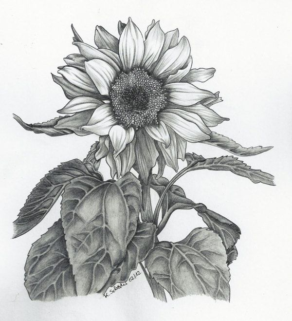 Drawn sunflower Pinterest Pencil Drawings Sunflower Trippy