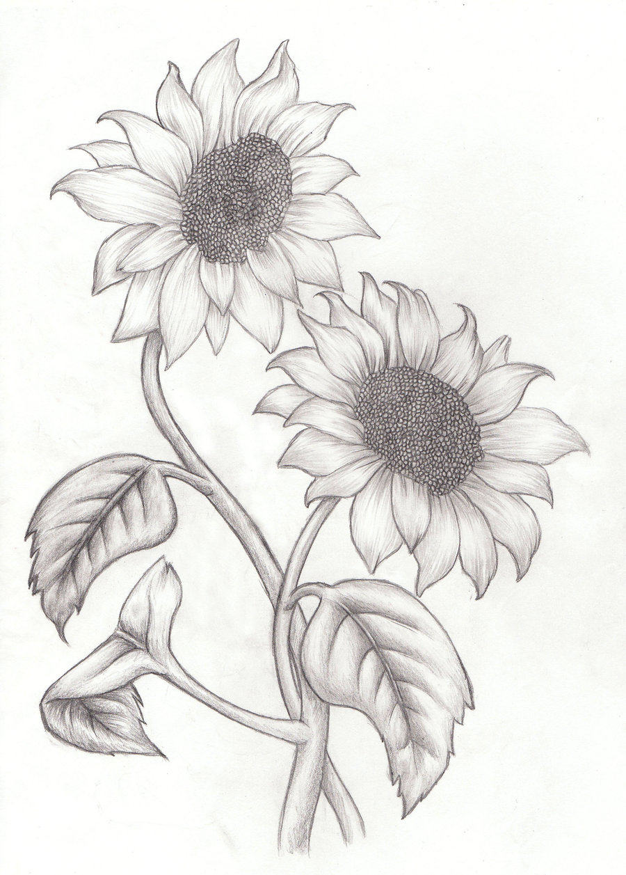 Drawn sunflower  sunflower drawing Drawings Sunflower