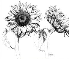 Drawn amd sunflower Uncategorized  Sunflower White botanical