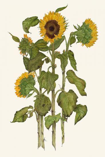 Trippy clipart sunflower #12