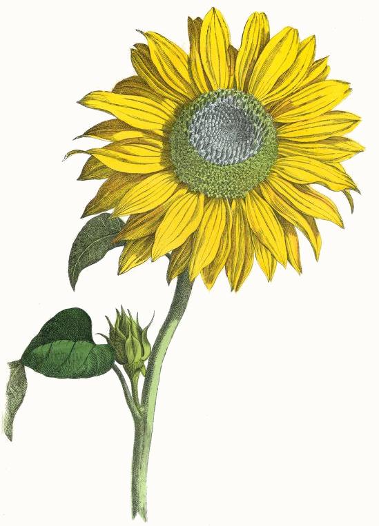 Drawn amd sunflower Com Sunflower Plants Drawing Plants