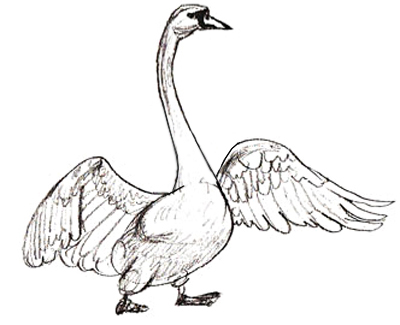 Drawn swan By Step Draw a Swan