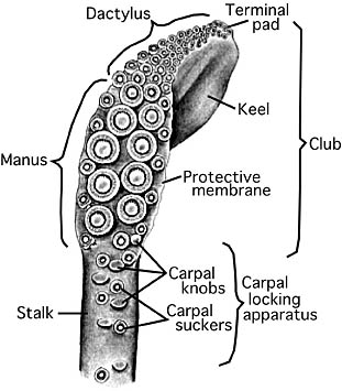 Drawn tentacle squid Cephalopod Terminology  Tentacle