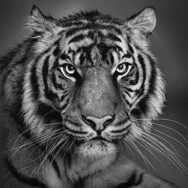 Drawn tiiger Artist tiger by Artist drawn