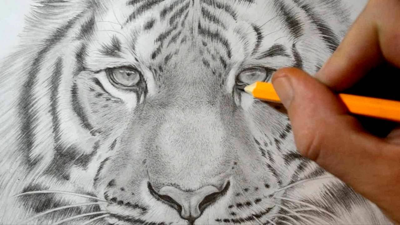 Drawn tiiger Tiger Draw to a How
