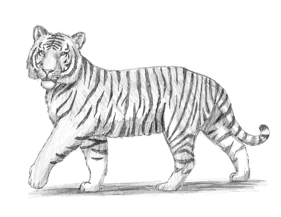 Drawn tiiger Search realistic Draw ideas Google