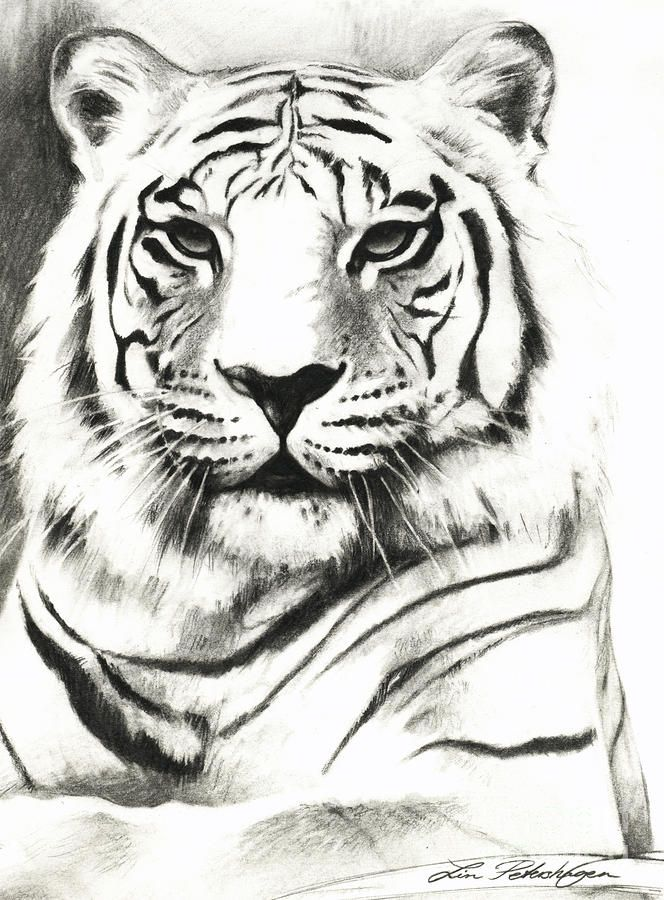 Drawn tigres mean Best Portrait  TIGERS❤️COUGARS❤️PANTHERS❤️LEOPARDS Tiger