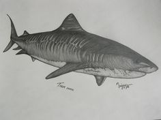 Drawn tiger shark #11