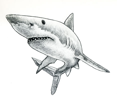 Drawn tiger shark #15
