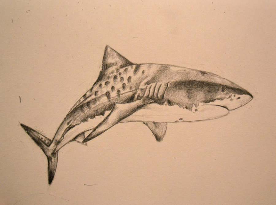 Drawn tiger shark #4