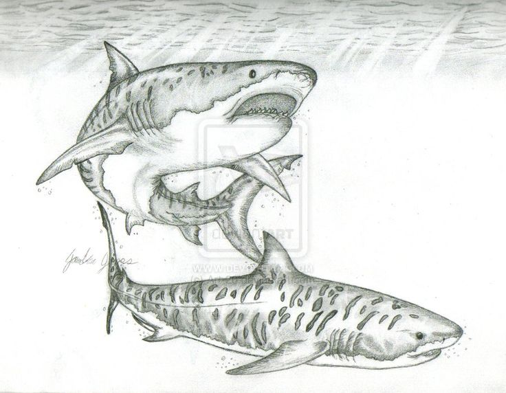 Drawn tiger shark #5