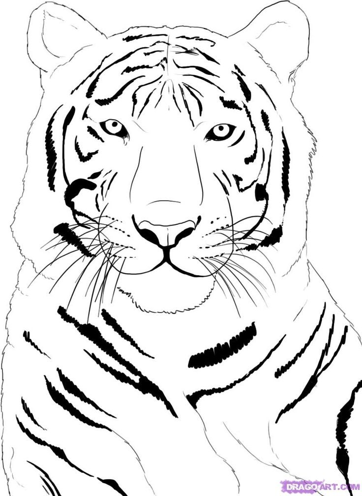 Drawn white tiger Draw tiger a tigers to