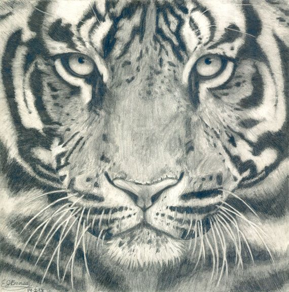 Drawn tigres 20+ drawing on White by