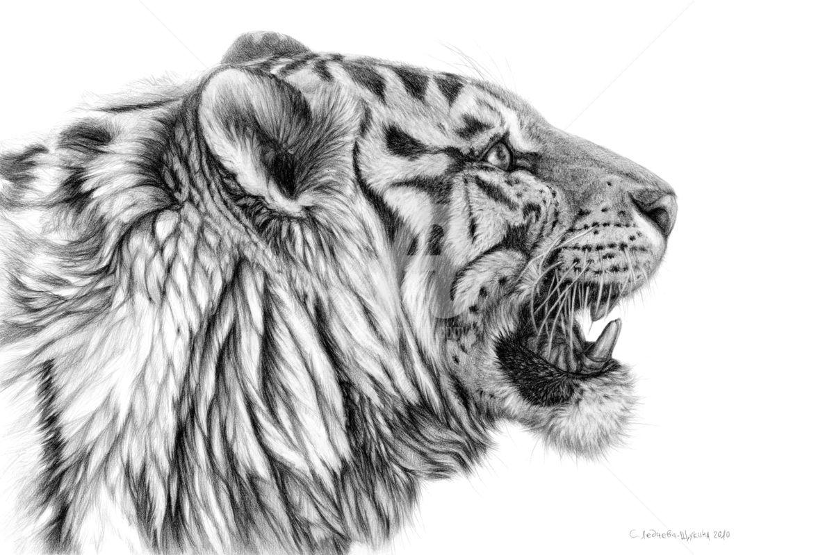 Drawn tigres portrait Schukina tigre ©2013 White Ledneva