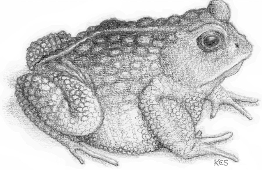 Drawn toad Toad drawing of Like or