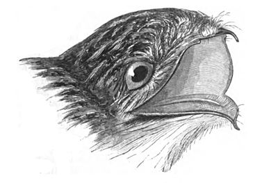 Drawn todies base Birds/Fissirostres  jamaicensis Wikisource History