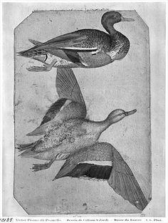 Drawn todies base Pisanello  drawing 1395 Pisanello